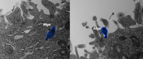 Mycoplasma genitalium entering a human cell