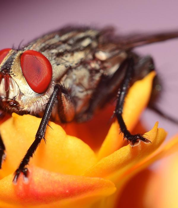 A fly on yellow flowers